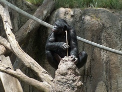 A bonobo fishing for termites with a tool, a prepared stick