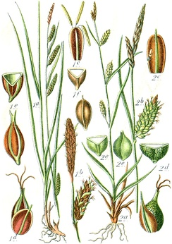 Illustration of two species of Carex, from Deutschlands Flora in Abbildungen (1796): 1. C. binervis; 2. C. punctata