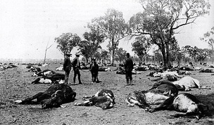 Australia, 1907: Cattlemen survey 700 carcasses of cattle that were killed overnight by a poisonous plant