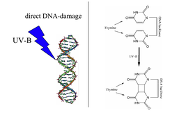 The cause of sunburn is the direct damage that a UVB photon can induce in DNA (left). One of the possible reactions from the excited state is the formation of a thymine-thymine cyclobutane dimer (right).