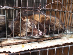 A caged civet used for kopi luwak production