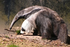 The insectivorous giant anteater eats some 30,000 insects per day.[169]