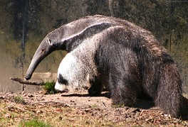 The insectivorous giant anteater eats some 30,000 insects per day.[158]