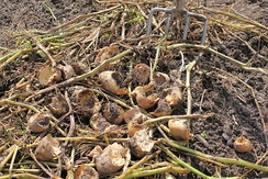 Rodents cause significant losses to crops, such as these potatoes damaged by voles.