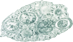Wolbachia bacteria within an insect cell