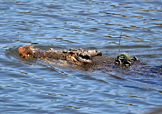 A saltwater crocodile with a GPS-based satellite transmitter attached to its head for tracking