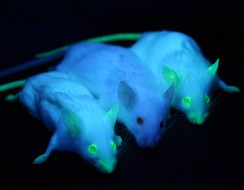 Genetically engineered mice expressing green fluorescent protein, which glows green under blue light. The central mouse is wild-type.