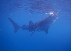 A whale shark in the Philippines with remoras