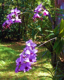 Cooktown orchids.