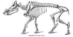 Skeleton, as illustrated by Richard Lydekker.