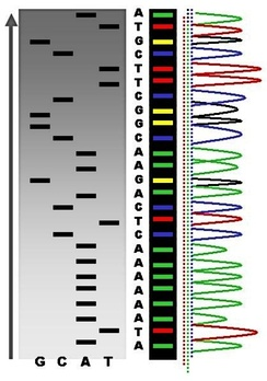 An example of the results of automated chain-termination DNA sequencing.