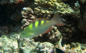 Five-saddle parrotfish or dusky-capped parrotfish (Scarus scaber) (female)