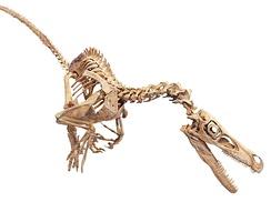 Реконструкция скелета велоцираптора, Королевский бельгийский институт естественных наук