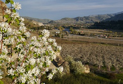 Amelanchier cusickii at Peshastin Pinnacles State Park, a native fruit in the same family as the orchard trees blooming in the valley below.