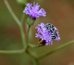 Bee (Ceratina sp.) on Vernonia cinerea at Ananthagiri Hills, in Ranga Reddy district of Andhra Pradesh, India