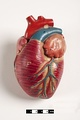 Didactic model of a mammal heart.