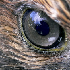 """Hawk-eyed"" is a byword for visual acuity"
