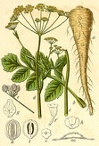 Pastinaca sativa (paprastasis pastarnokas). Was a popular food before appearance of potatoes. K.Donelaitis in his poem The Seasons promoted growing of parsnips.