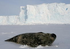 Weddell seals (Leptonychotes weddellii) are the most southerly of Antarctic mammals.
