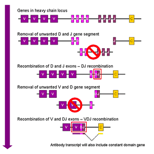 Simplified overview of V(D)J recombination of immunoglobulin heavy chains