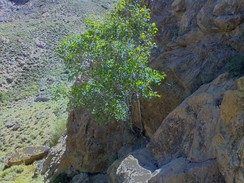 Mountain fig tree in Zibad