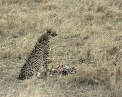 A cheetah with a Thomson's gazelle carcass. Cheetahs are one of the main predators of Thomson's gazelle.