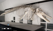 Skeleton of a blue whale standing outside the Long Marine Laboratory of the University of California, Santa Cruz.