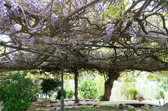 The Sierra Madre Wisteria