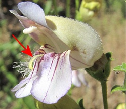 The arrow points to the hairy staminode of a Grinnell's Penstemon (Penstemon grinellii) flower