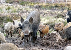 Mixed sounder of wild boar and domestic pigs at Culzie, Scotland