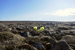 Arctic poppy in bloom within the Qausuittuq National Park on Bathurst Island
