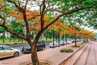 Delonix regia trees blooming in Dhaka during the summer