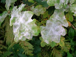 Oak powdery mildew on pedunculate oak