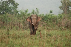 Lone bull: Adult male elephants spend much of their time alone or in single-sex groups