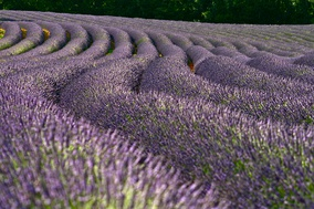 Lavender fields are a well known feature of the South of France, mainly located in Provence