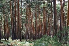 Одно из излюбленных мест обитания большого пёстрого дятла— сосновый бор