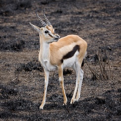 Closeup view of a Thomson's gazelle: Note the facial markings and the lateral stripe.