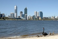 "Black swans on the shore of the Swan River (Western Australia), with the Perth skyline in the background. The thousand-year-old conclusion ""all swans are white"" was disproved by the VOC navigator Willem de Vlamingh's 1697 discovery."