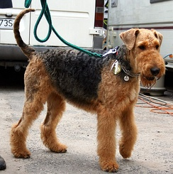 This Airedale's tail is natural (undocked)