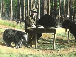Superintendent Horace M. Albright and black bears (1922). Tourists often fed black bears in the park's early years, with 527 injuries reported from 1931 to 1939.[51]