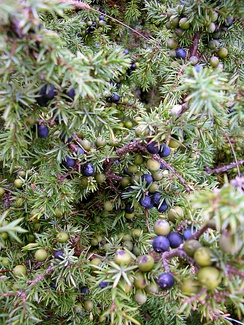 Mature purple and younger green juniper berries can be seen growing alongside one another on the same plant.