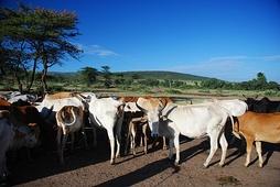 Домашний скот постепенно вытесняет буйволов с исконных мест обитания (коровы народа масаев, Кения)