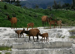 Elk crossing a rock face