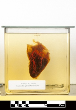 Goat heart. Specimen clarified for visualization of anatomical structures
