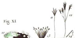 Иллюстрация Mucor penicillatus Пьера Бюльяра