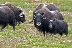 Стадо овцебыков