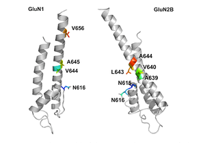 Figure 2: Transmembrane region of NR1 (left) and NR2B (right) subunits of NMDA receptor.