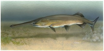 The paddlefish has a rostrum packed with electroreceptors