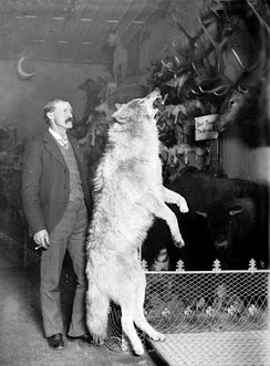 Photograph of Gray Wolf from kill in the Colorado Rockies ca. 1890–1900 in the Edwin Carter (Taxidermist) Collection, Breckenridge, Colorado