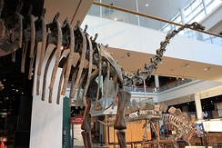 Diplodocus fossil exhibit in Minnesota Science Museum.